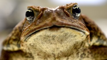 Cane toads have it one up on athletes - despite 'leaking' salts they don't lose electrolytes.