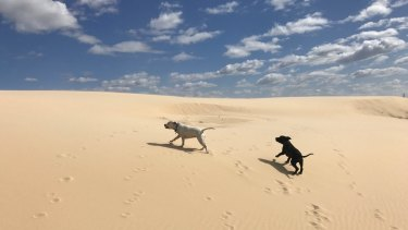 Staffies Peppah and Brixton explore the sand dunes at Anna Bay.