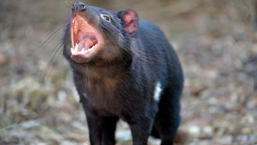Something to shout about: scientists have found a way to shrink a cancer threatening Tasmanian devils.