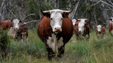 To graze or not to graze: Should cattle be allowed in Alpine National Park?