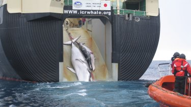 Two minke whales, possibly a mother and calf, are hauled aboard the Nisshin Maru in 2008.