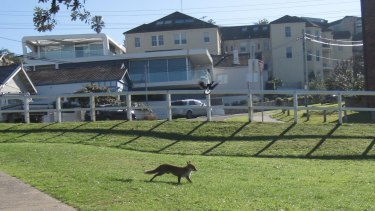 Foxes are increasingly being seen in urban areas, including Bronte.