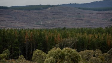About 200,000 trees will have to be cut down at Kowen Forest due to a fungal infection and hail damage.