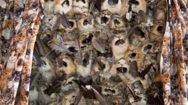 "Inside Barry Green's house is an artwork called ""Curiosity"". The kitten curtains open up to reveal a panel about a metre wide comprising cat heads and skins with native bird feathers stuffed in their mouths, a comment on the impact of feral cats on native wildlife."