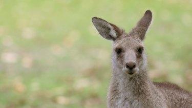 Not so innocent: kangaroos produce as much methane as horses.