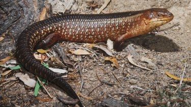 Yakka Skink. Photo from Mackay Conservation Group website