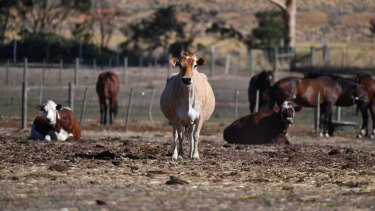 A cow near the site in Werribee where radioactive carcasses are buried.