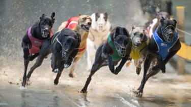 Greyhounds race at Wentworth Park.