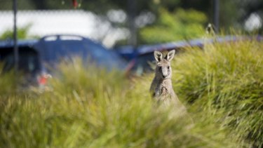 There are more than 20,000 kangaroo strikes on Australian roads each year, costing over $75 million in claims.