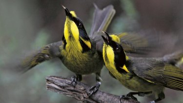 Helmeted honeyeaters can be attracted to a garden by judicious planting.
