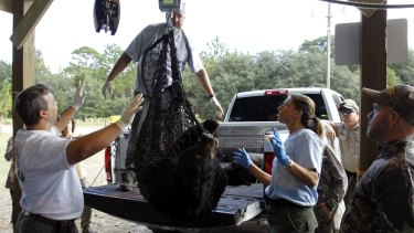 Florida Fish and Wildlife Conservation Commission officials weigh a black bear at the Rock Springs Run Wildlife Management Area on Saturday.