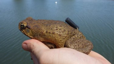 Attempts to halt population growth: Fencing dams denies cane toads access to water, dramatically reducing cane toad numbers.