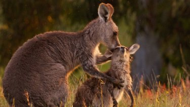 Scientists and animal rights activists debate the culling of kangaroos in the ACT.