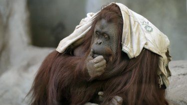 Sandra, an orangutan for whom lawyers are fighting to gain limited legal rights, in Buenos Aires Zoo.