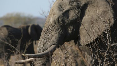 Elephants sometimes go for up to 46 hours without sleep while walking distances of about 130 kilometres.