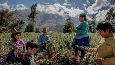 A Quechua family harvests flowers at the foot of Huascaran, Peru, in the Cordillera Blanca region, where greenfields have been planted..
