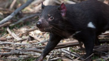 Boomer, one of the devils from the Healesville Wildlife Sanctuary in Victoria, is released on Maria Island on Tasmania's east coast.