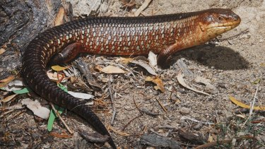 Opponents say the yakka skink is threatened by the mine.