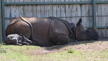 Not yet in the public eye, the calf and his mother can leisurely snooze in the shade.