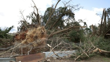 """A tree ripped out of the ground by the """"weak tornado"""" at Forbes Creek."""