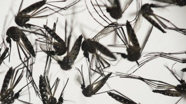 Aedes aegypti mosquitoes, responsible for transmitting dengue and Zika, in a petri dish at the Fiocruz Institute in Recife, Pernambuco state, Brazil.