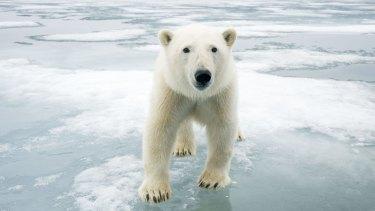 A polar bear off the coast of Svalbard, Norway.