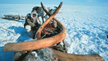 Woolly mammoth tusks found in Siberia that are believed to be 23,000 years old.