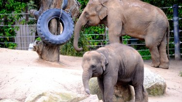 Willow's mother Num-Oi, seen here with another of the zoo's baby elephants, Mali.