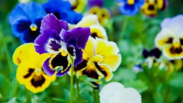 Planted at exactly the right time, pansies will bloom all through winter and into spring too.