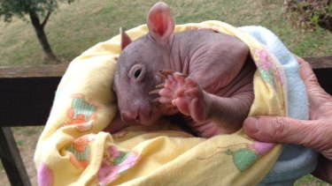 The baby wombat that survived when ten others were run over.