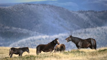 Brumbies in the Victorian high country.