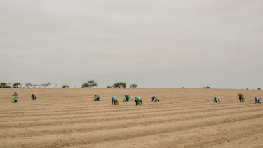 Workers for a farming company harvest asparagus in the sand, near Trujillo, Peru.