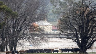 Cattle move to higher ground to avoid raging water in the Burnie floods.