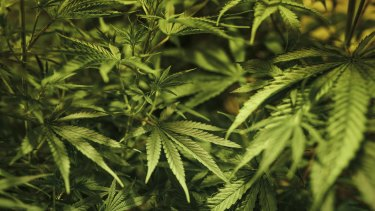 Medical grade cannabis will be trialled alongside chemotherapy as a new treatment for melanoma.