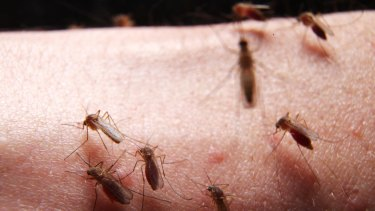 Increase in mosquito numbers caused by heavy rainfall. Mosquitoes on volunteer arm in Westmead medical laboratory.