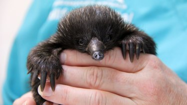 A baby echidna is making a remarkable recovery at Taronga Zoo, after being attacked by chickens in a family's backyard.