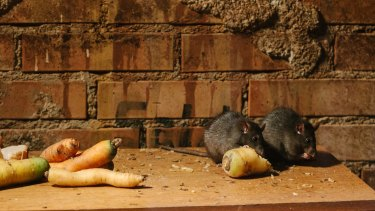 The final pandemic of the bubonic plague was spread by rats on ships.