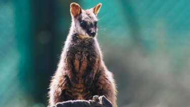 A 10-month-old southern brush-tailed rock wallaby at Tidbinbilla Nature Reserve.