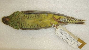 A night parrot from the collection of the Australian Museum in Sydney.