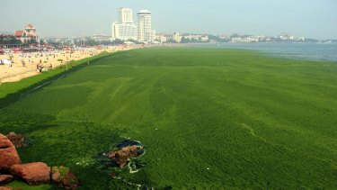 Red light: Scientists say algal blooms such as this one near Qingdao in July 2013 are symptoms of an ecosystem in decline.