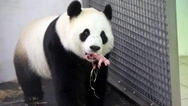 Giant panda numbers have dwindled below 2000 worldwide.