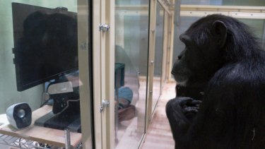 This photo provided by Kumamoto Sanctuary, Japan, and Max-Planck Institute for Evolutionary Anthropology, Germany, shows a chimpanzee taking part in the eye-tracking experiment.