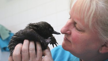 Hi mum: Taronga Wildlife Hospital supervisor Annabelle Sehlmeier with Bonsai, the baby echidna.
