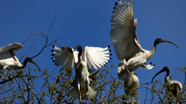 The Australian white ibis is known to live a highly mobile 11 years, with adults able to make 70-kilometre round trips in a day.