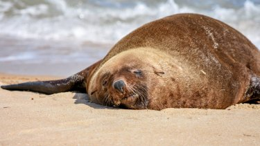 Arcto the seal at Dromana beach.