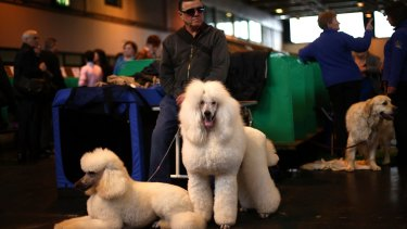 A man waits with his standard poodles on the third day of the Crufts dog show at the National Exhibition Centre in Birmingham, England.
