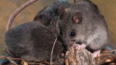 Critically endangered smoky mice.