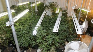 Cannabis plants allegedly found by police in a property north-west of Taree, NSW.