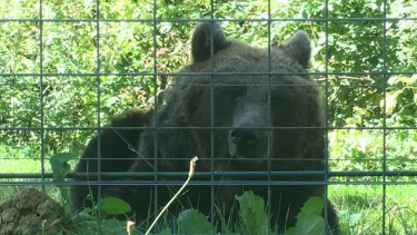A bear in the Libearty sanctuary in Transylvania's Carpathian Mountains.