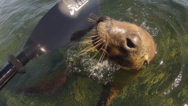 A playful sea lion interacts with a kayaker in the area immediately adjacent to the proposed development area.